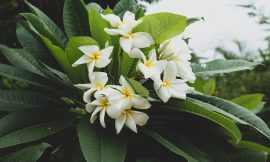 How to Propagate Plumeria Cuttings in 10 Easy Steps