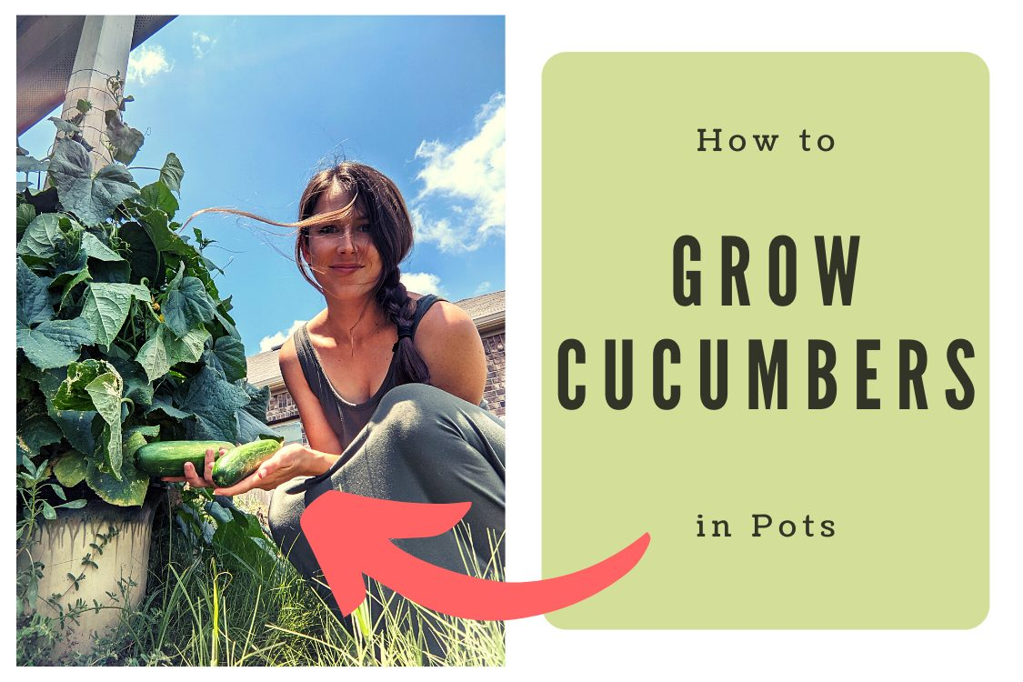 growing cucumbers in a pot