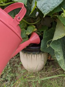 watering cucumber plant in a pot